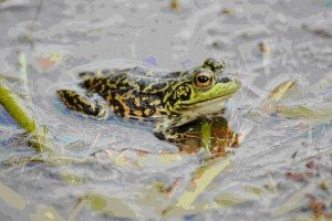 Mink Frog photo courtesy Mike Ostrowski