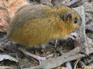 Woodland jumping mouse (Wikipedia Photo)