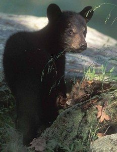 Black Bear Photo by Gary Lemmo