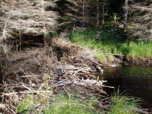 Crucial Robinson River beaver dam