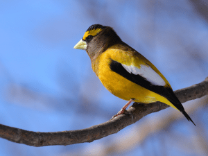 ed_kanze_grosbeak