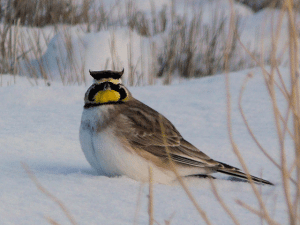 ed_kanze_horned_lark