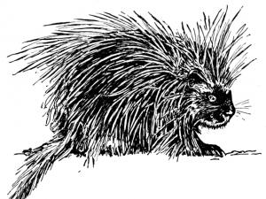 ed_kanze_porcupine