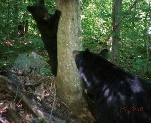 Black Bear NYS Museum Camera Trap