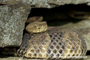 June copy-Timber Rattlesnake