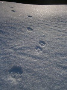 The Fox Tracks
