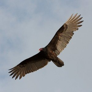 Turkey Vulture of over florida (Wiki Commons)