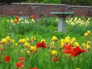 birdbath iris king and poppies