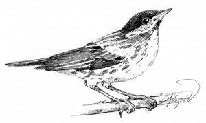 Blackpoll_warbler