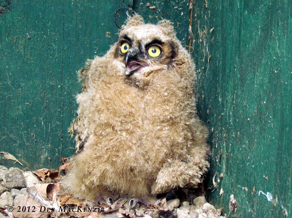 The Great Horned Owl: Greatest Adirondack Predator? - - The
