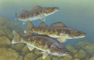 Walleye_painting