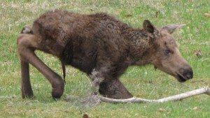moose_newborn_calf_homer