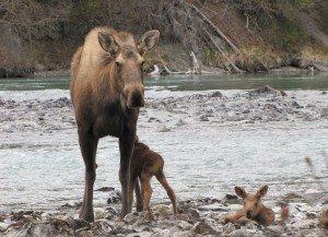 moose_nursing_kenai3