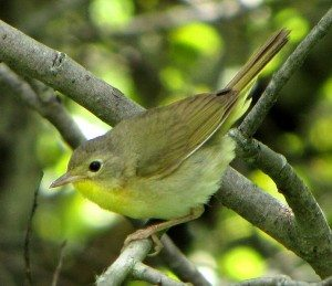 694px-Common_Yellowthroat,_female