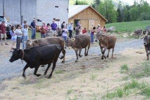 Cows running