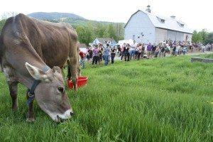 Swiss Brown Cow