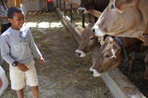 Tsinat w cows