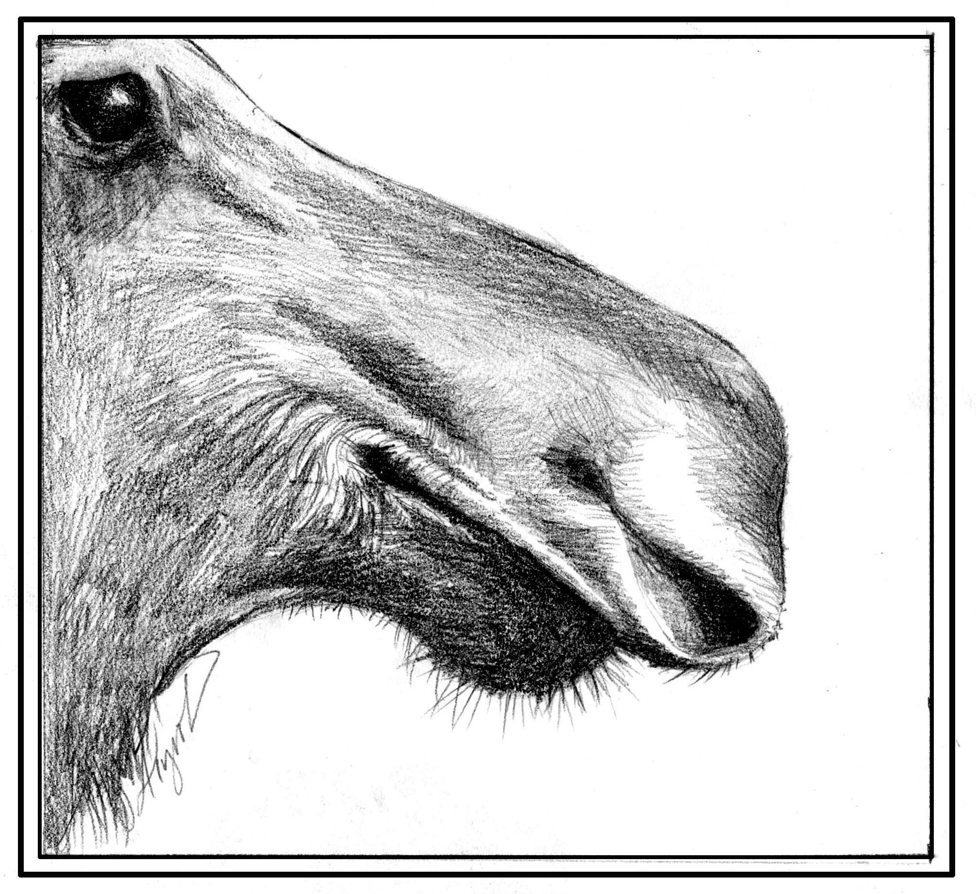 Adirondack Moose Why The Big Nose The Adirondack Almanack