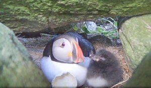 PuffinWithHatchling
