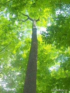 Towering White Ash on Lot 8