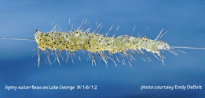spiny water flea in lake champlain