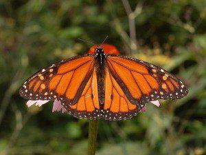 800px-Monarch_Butterfly_Danaus_plexippus_Male_2664px