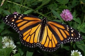 800px-Monarch_In_May