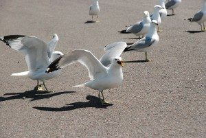 Ring-billed_gull_group