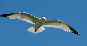 Ringbilledgull-flight