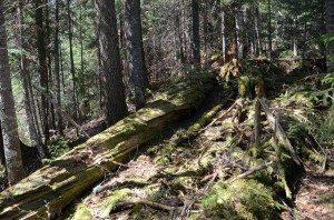 Bushwhack Fallen Spruce and Duff