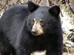 black_bear_mammal