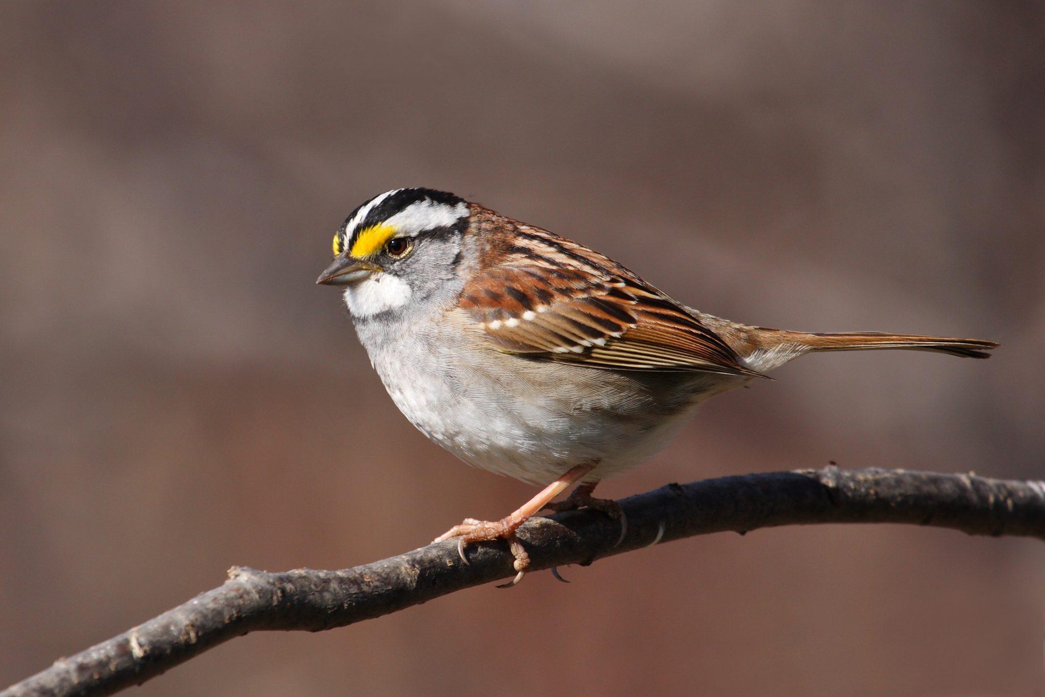 White Throat Sparrow 41
