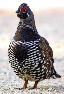 Adult Grouse