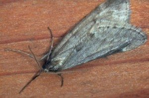 Alsophila pometaria US Forest Service Photo