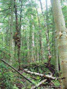 Paper birch forest on Jay Mountain's northern slope