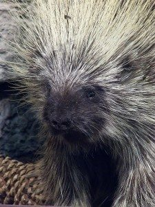 Porcupine by Mary Harrsch (Wikicommons)