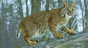 Bobcat Photo by BigStockPhoto dot com