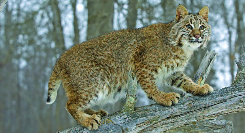 Big Cat Sightings In Southern Illinois