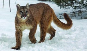 Cougar in Montana Photo by BigStockPhoto dot com