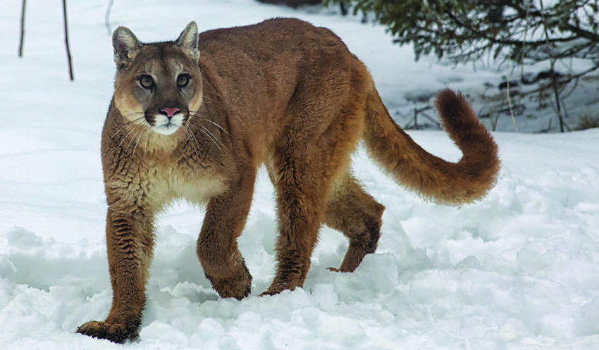 eastern puma vs cougar