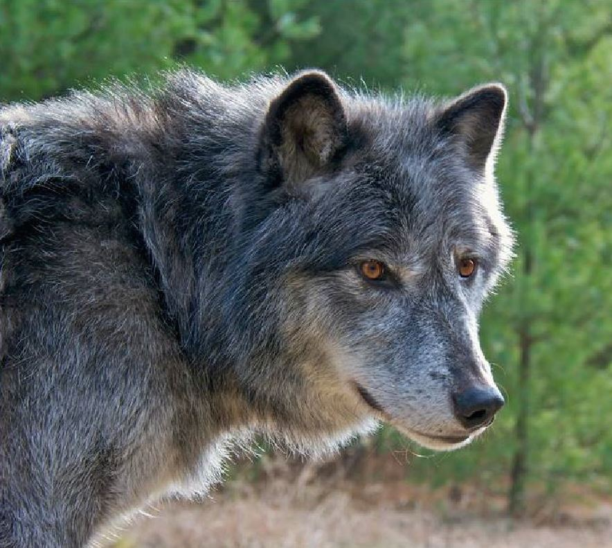 Wolf, Coyote, Or Coywolf? New Science On Wolf Hybrids