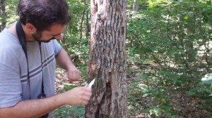 Tom Colarusso gets a closer look at ash tree bark during an invasive insect forest survey.