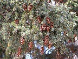 local spruce