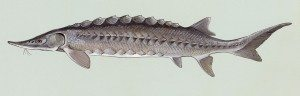 Atlantic Sturgeon, Acipenser oxyrhynchus from artwork commissioned by the Fish and Wildlife Service in the 1970's