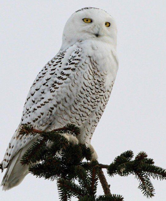 Snowy Owl in Vermont