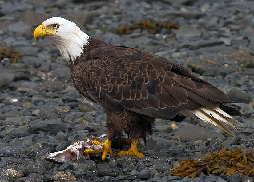 Comments On Bald Eagle 'Conservation Plan' Sought
