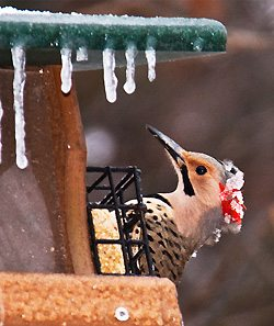 Northern Flicker by Linda Izer in Arkansas