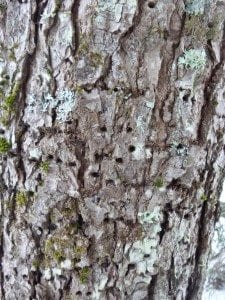 Woodpecker damage like these holes created by a sapsucker is an initial clue to an invasive insect infestation.