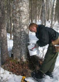 Cornell Seeks Birch Syrup Research Collaborators