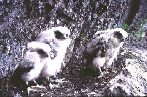 Nesting falcons. Photo from DEC website.
